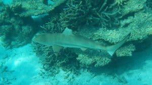 Чернопёрая рифовая акула