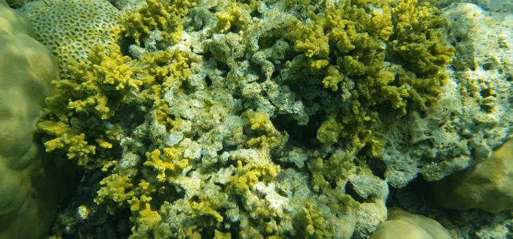 Коралловый полип