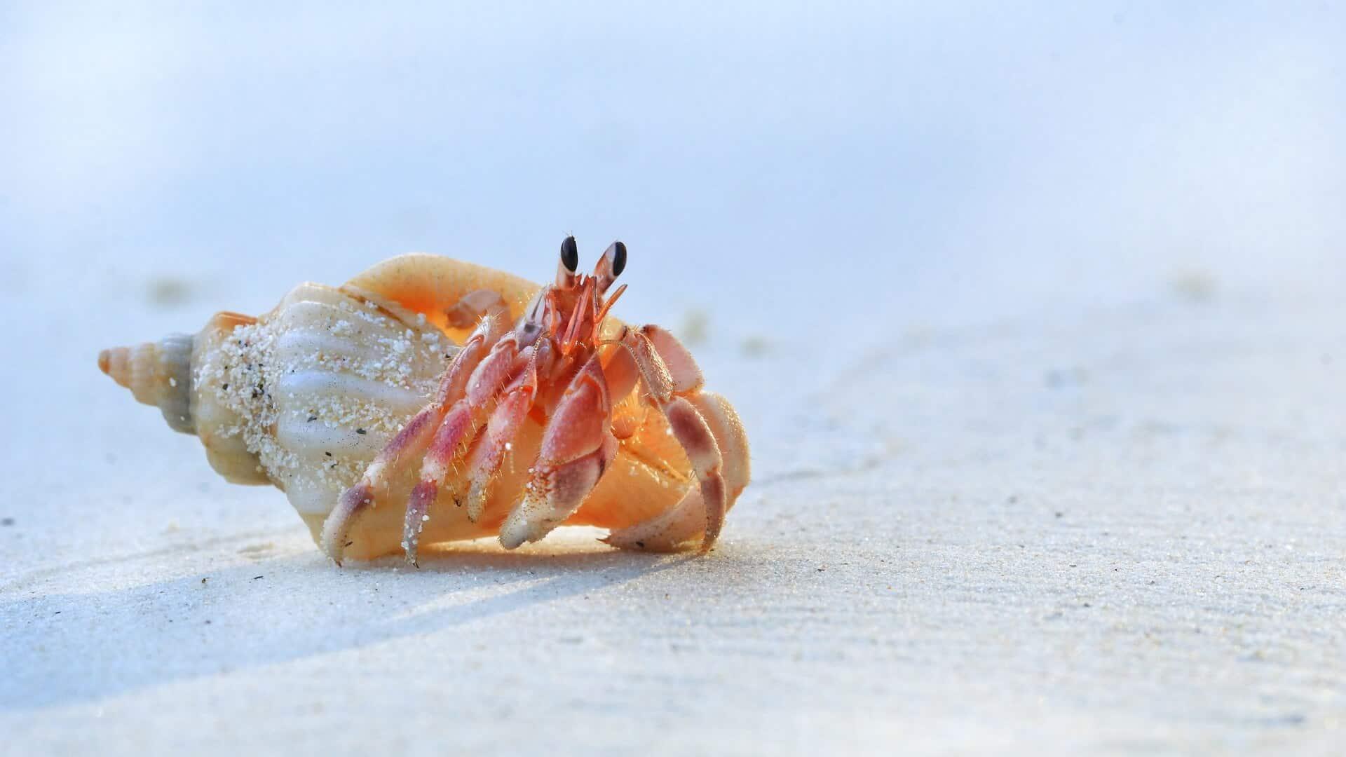 Race of hermit crabs