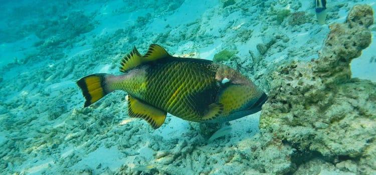 Рыба Титан (Триггер)