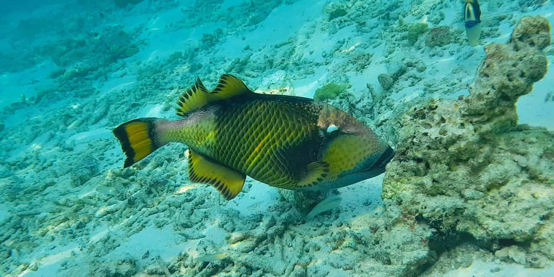 Рыба Титан Триггер