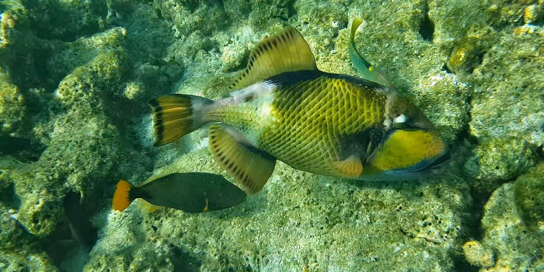 рыба Триггер